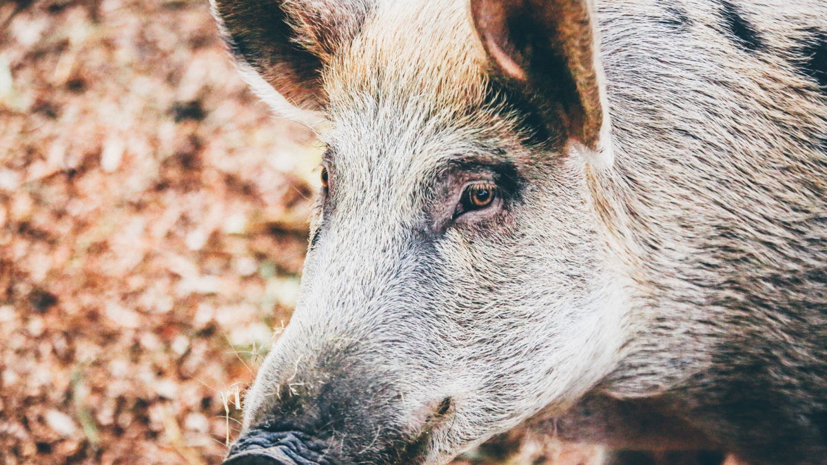 Austin Real Estate - Feral Hogs